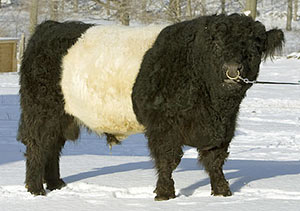Prize-Winning Belted Galloways